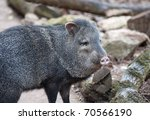 Close Up A Collared Peccary