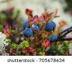 Wild Ripe Blueberries On The...