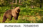 brown bear walking free in the... | Shutterstock . vector #705680545