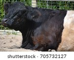 the belted galloway is a... | Shutterstock . vector #705732127