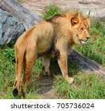 lion is one of the four big... | Shutterstock . vector #705736024