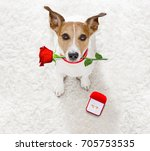 jack russel dog in love  ... | Shutterstock . vector #705753535