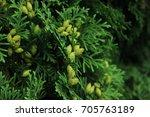 green hedge of thuja trees.... | Shutterstock . vector #705763189