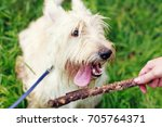 Small photo of White dog is afoot to grab a stick