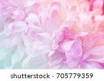 chrysanthemum flowers in soft...