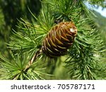 Small photo of Larch cone on a branch, green background