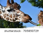 The Head Of A Giraffe With Its...