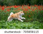 Red Akita Dog Running Along A...