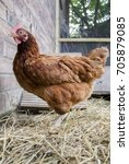 Small photo of An ISA Brown hen standing on hay in a chicken coop.