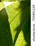 backlit bright green leaf with... | Shutterstock . vector #705891139