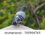 Rock Pigeon Rock Dove Columba...