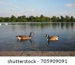 beautiful swan animal community ... | Shutterstock . vector #705909091