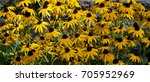 Black Eyed Susan Flowers In...