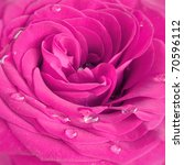 Pink Rose With Water Drops...