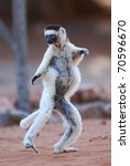 Stock photo verreaux s sifaka propithecus verreauxi dancing in the berenty nature reserve southern madagascar 70596670