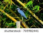 blue heron costa rica | Shutterstock . vector #705982441