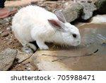 White Rabbit Drinks Water
