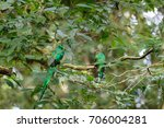 quetzal birds wild male and... | Shutterstock . vector #706004281