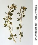 a herbarium sheet with... | Shutterstock . vector #706079581