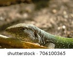 Small photo of Giant ameiva (ameiva ameiva); Copy taken in freedom