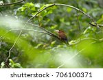 Small photo of Purusa jacamar (Galbalcyrhynchus purusianus), species released on the branches