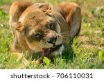 Close Up Of A Lioness Eating A...