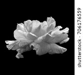 black and white rose on a black ... | Shutterstock . vector #706176559