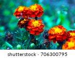 lots of beautiful marigold... | Shutterstock . vector #706300795