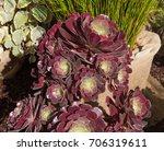 Aeonium  Arboreum 'velour' ...