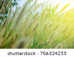 foxtail grass flower in the... | Shutterstock . vector #706324255
