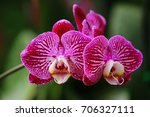 blooming pink orchid on a green ... | Shutterstock . vector #706327111