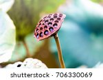 Lotus Seed Pod Close Up On