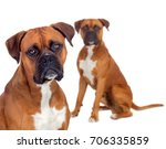 Stock photo two beautiful boxer dogs isolated on a white background 706335859