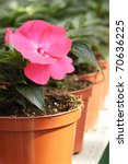 Small photo of Achimenes room flower is grown in the hot-house