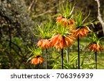 Fritillaria Imperialis  Crown...