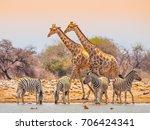 two giraffes and four zebras at ... | Shutterstock . vector #706424341