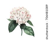 hydrangea and leaves ... | Shutterstock . vector #706481089