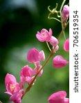 pink flower  mexican creeper ... | Shutterstock . vector #706519354