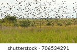 birds like starlings fly in... | Shutterstock . vector #706534291