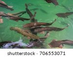 wild catfish in the emerald... | Shutterstock . vector #706553071