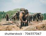 a herd of sri lankan elephants... | Shutterstock . vector #706557067