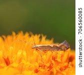 Small photo of Diamondback moth