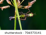 Small photo of Beautiful black and green Monkey Grasshopper (Arthropoda: Insecta: Orthoptera: Chorotypidae: Erianthus serratus) hanging and clinging on a green leaf stem isolated with dark black background
