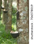 Small photo of Tapping sap from the rubber tree.