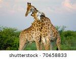 a pair of giraffe entwining... | Shutterstock . vector #70658833