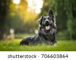 Stock photo amazing portrait of young crossbreed dog german shepherd during sunset in grass 706603864