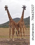 Two Giraffes In Africa