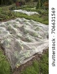 Small photo of Plastic netting covering cabbages growing on an allotment. The net offers protection against birds eating the plants