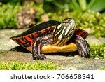 eastern painted turtle | Shutterstock . vector #706658341