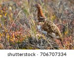 willow ptarmigan in denali... | Shutterstock . vector #706707334